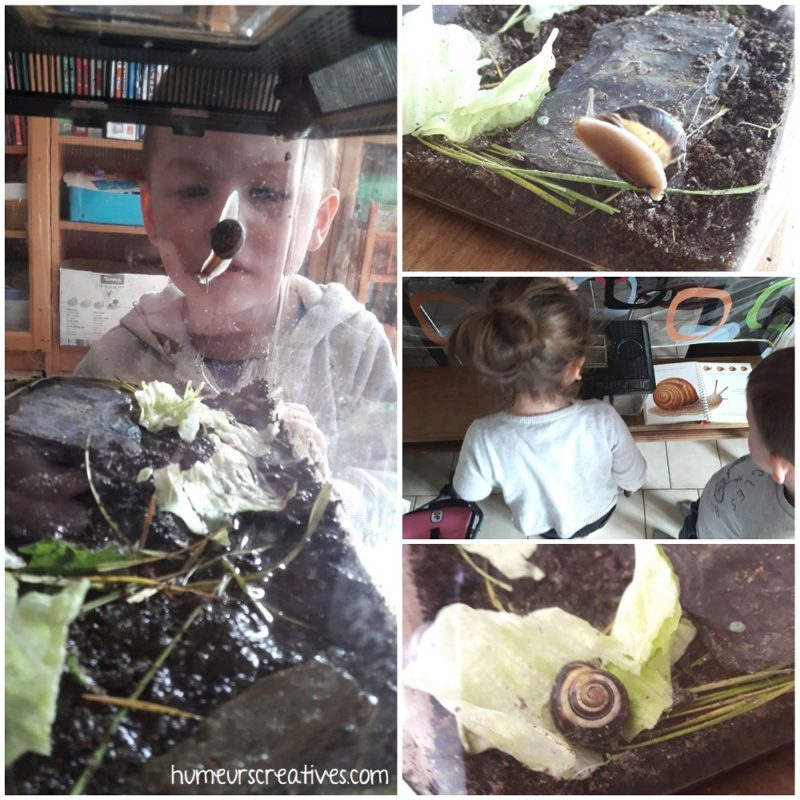 observation des escargots dans le terrarium
